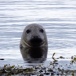 Seals are a common site in Loch Fleet near Dornoch, a short drive from The Old Manse Bed and Breakfast Kildary
