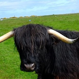 Highland Cow, those horns look deadly!
